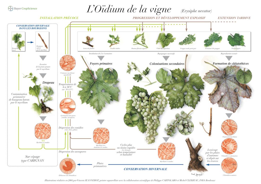 O dium de la vigne nuisibilit sympt mes et biologie bayer agri - Parasite de la vigne ...